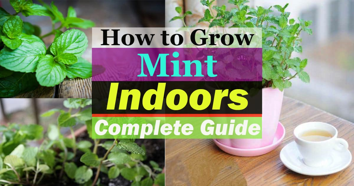 growing mint indoors  u0026 how to care for it