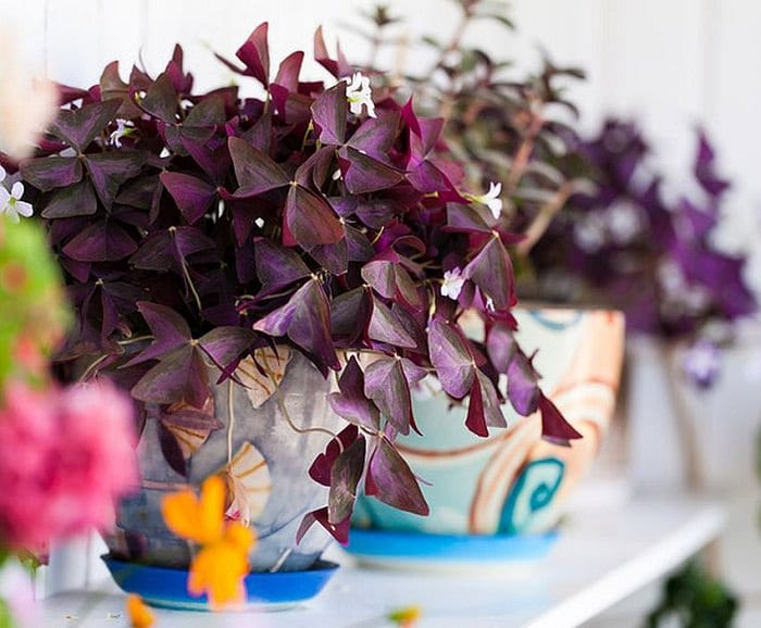 This Beautiful Flowering Houseplant Can Adorn Your House With Showy Purple Foliage And White Or Pink Flowers Place It At A Bright Spot For Abundant Blooms