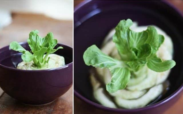 bok-choi-regrowing-from-water