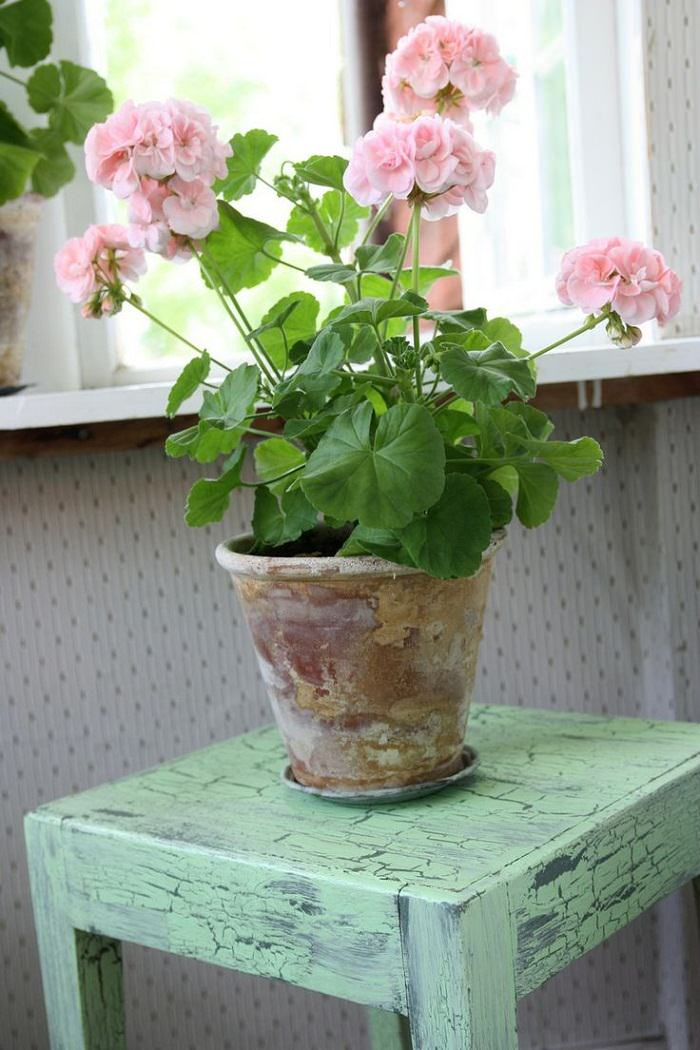E17a14e86cb7fgvdfgv Scented Geraniums With Bright Colorful Flowers Become Incredible Houseplants