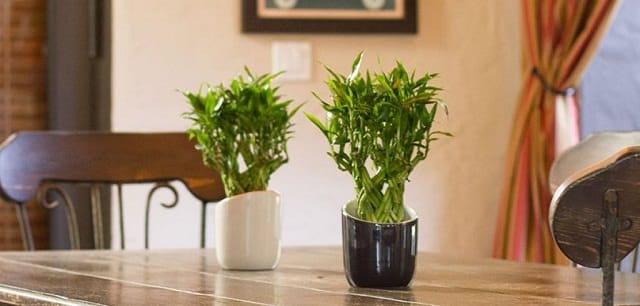 good-lucky-bamboo-indoor-plants