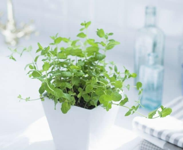 Grow Mint Indoors