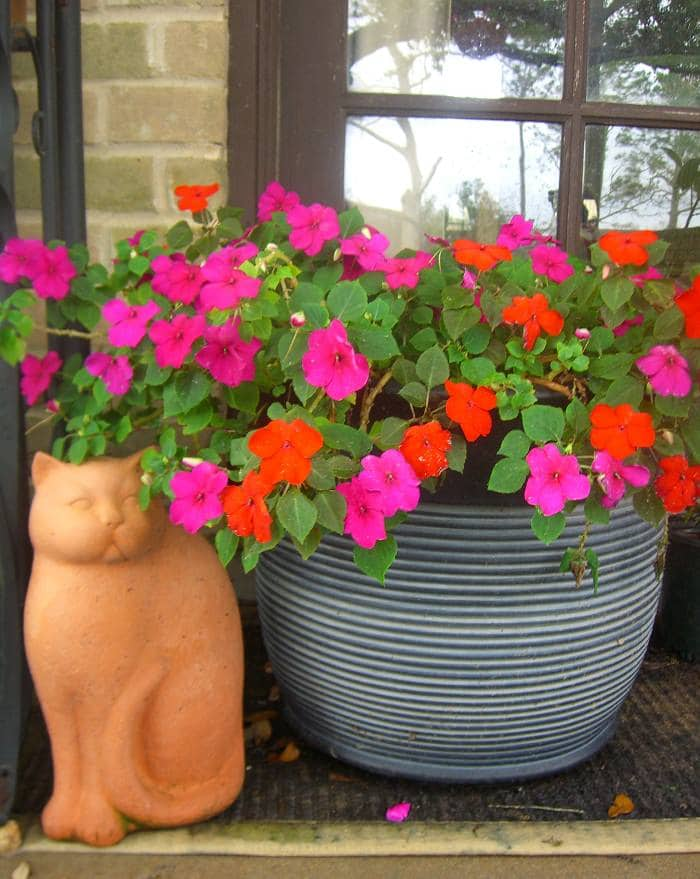impatiens-indoors