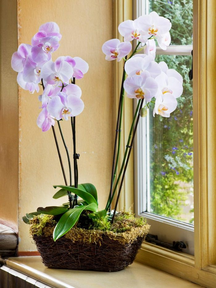 orchid-flowering-houseplant