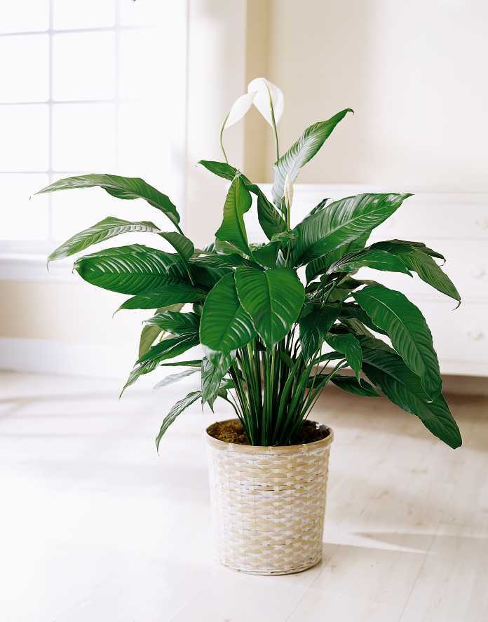 peace-lily-indoors