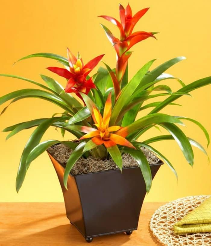 potted-bromeliad-indoor-plant