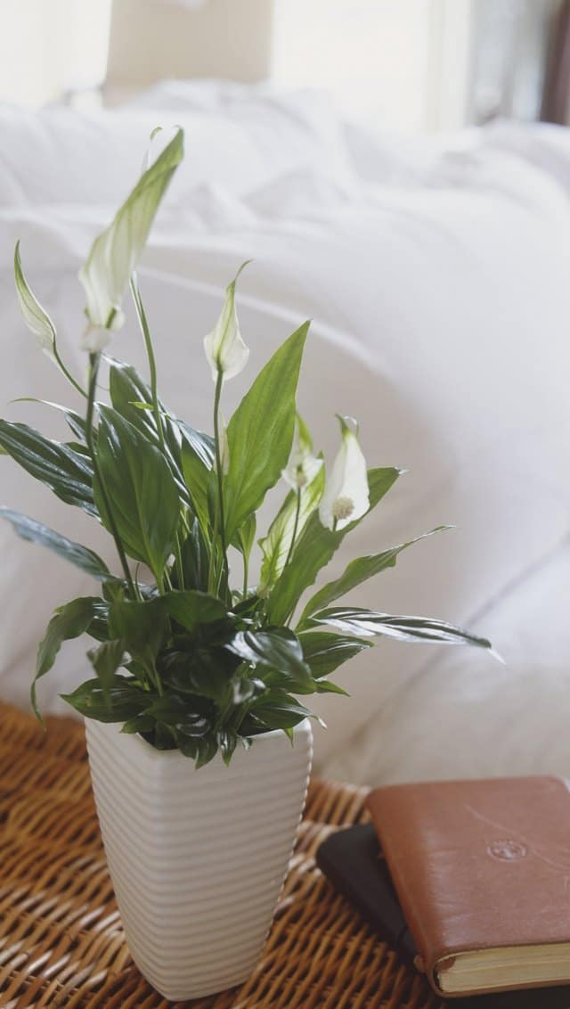 Spathiphyllum Wallisii Peace Lily Leafy Plant With White Flowers