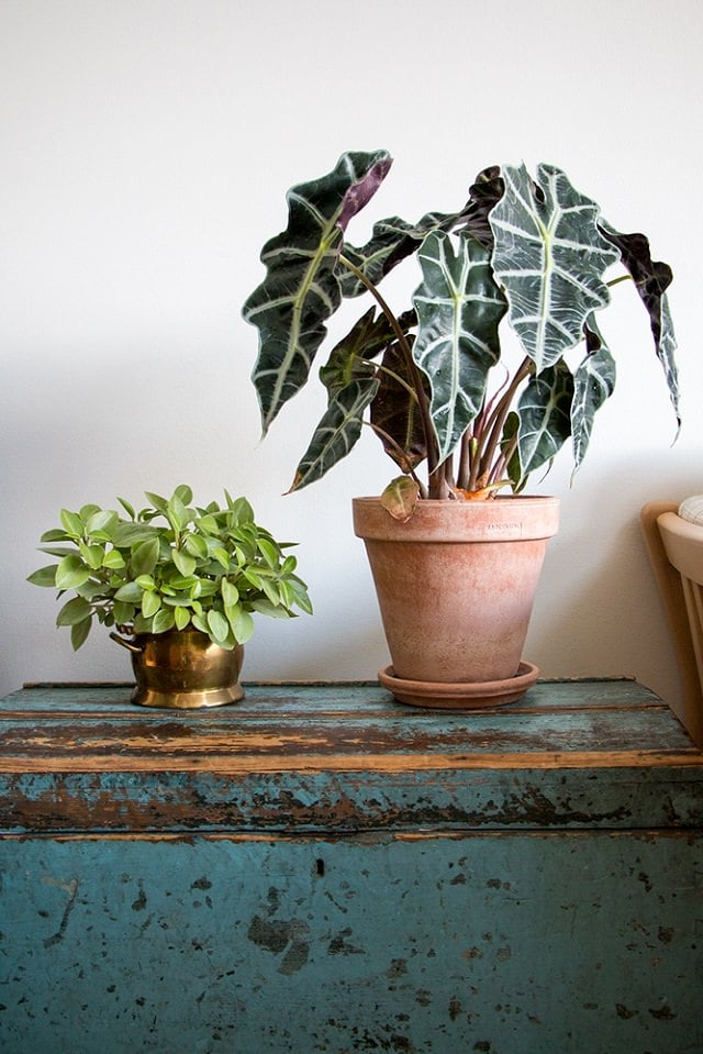 african-mask-plant-indoor