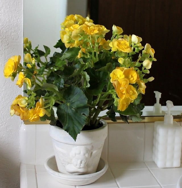begonia-easy-care