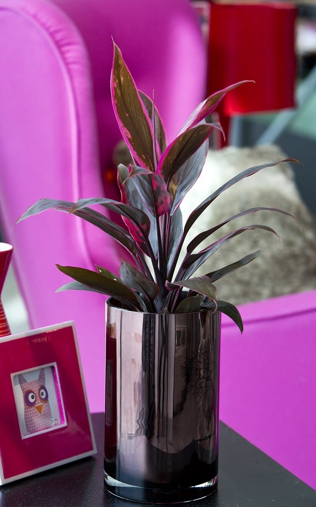 Cordyline Ti Plant Indoor