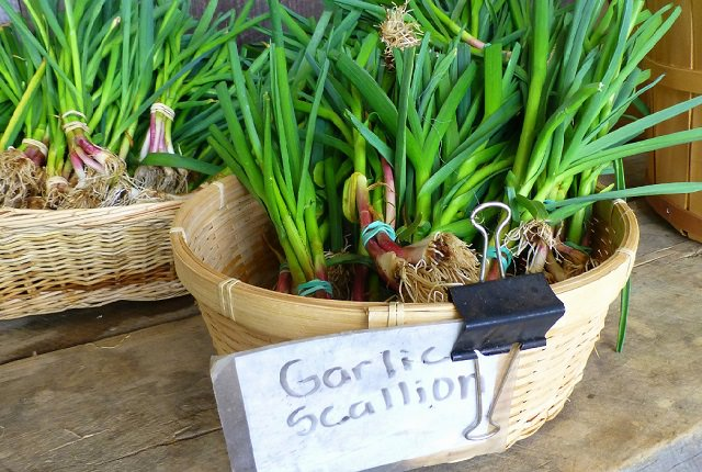 growing-garlic-indoors-3
