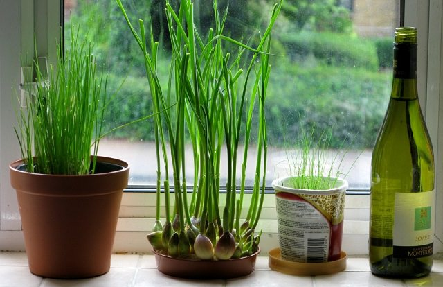 growing-garlic-indoors
