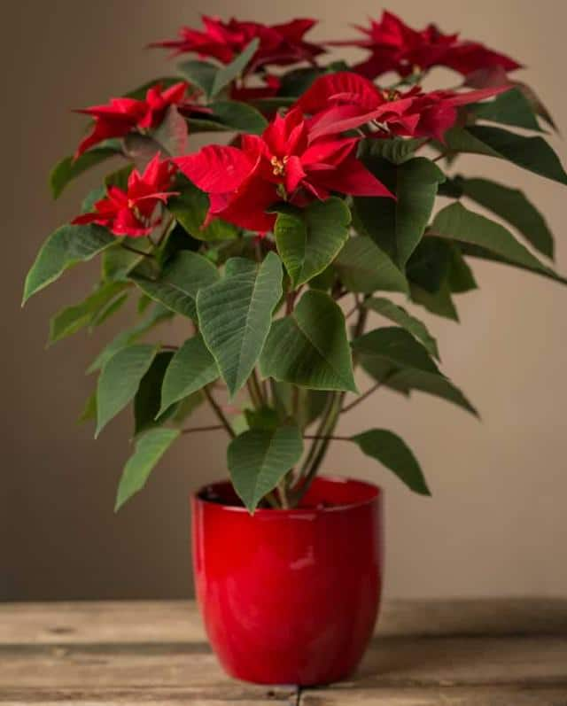 poinsettia-indoor