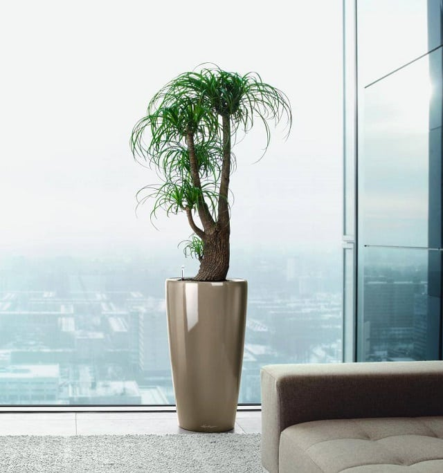 ponytail-palm-easy-care
