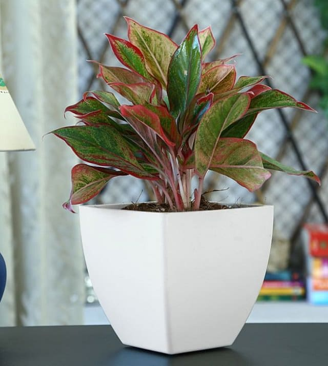 red-aglaonema-houseplant