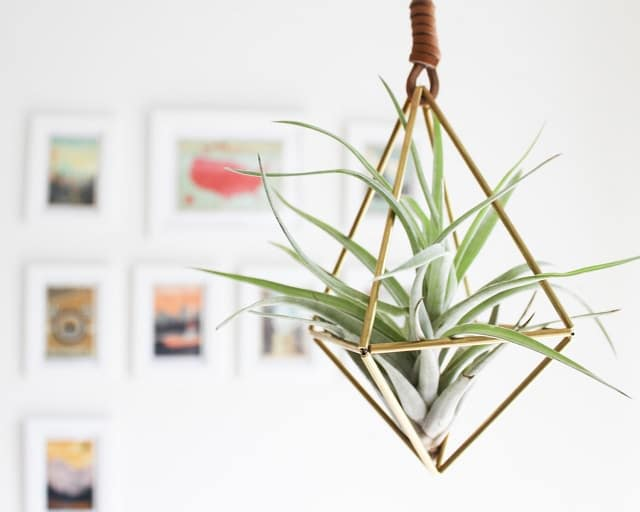 Tillandsia Is A Genus Of Air Plants Native To The Deserts Forestountains Central And South America Are Epiphyte Meaning They Don T