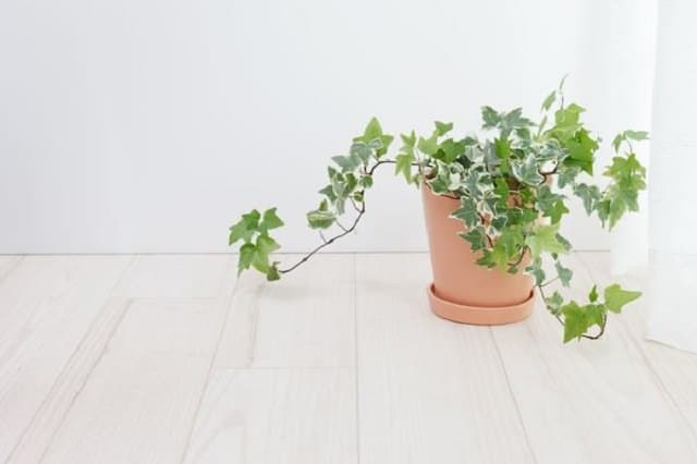 english-ivy-easy-care