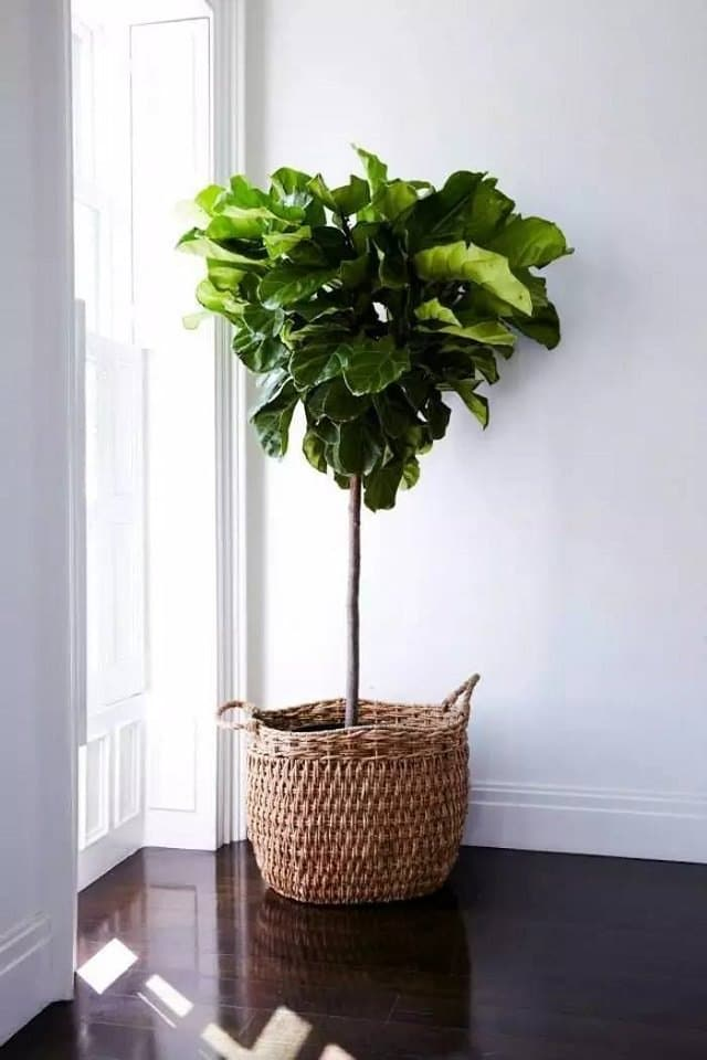 fiddle-leaf-fig-in-a-room