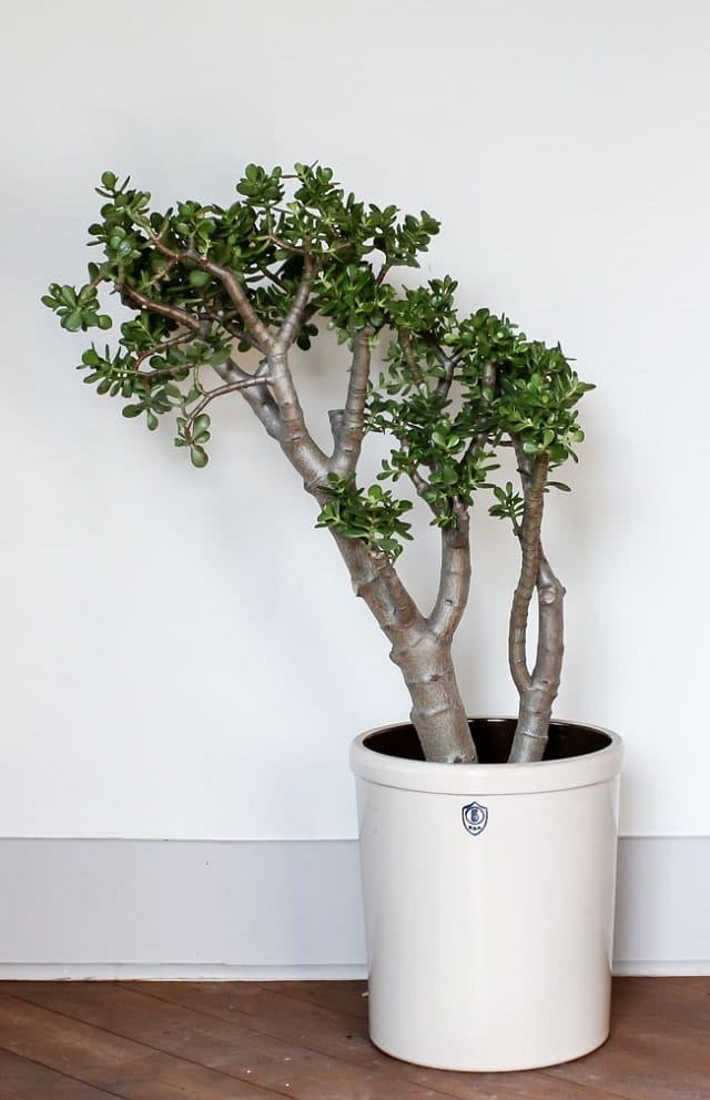 jade-plant-easy-care