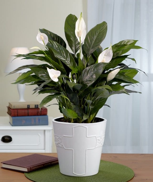 peace-lily-indoor