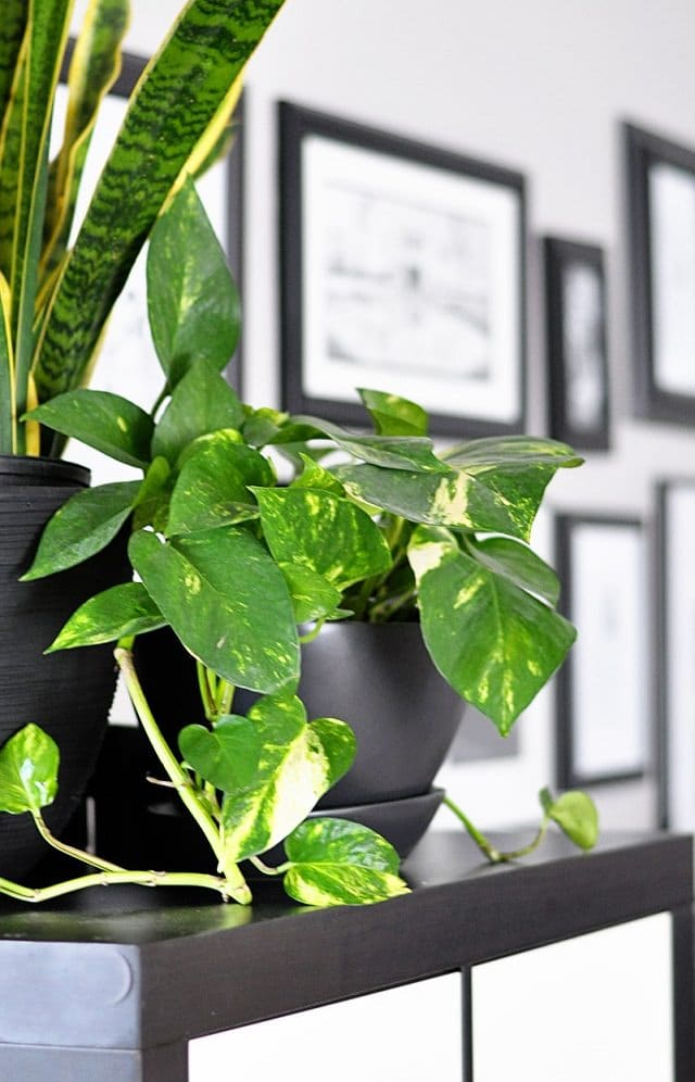pothos-in-bedroom
