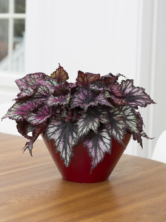 Gorgeous Purple Houseplants 4