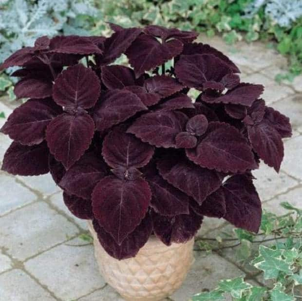 Coleus House Plant With Fuzzy Leaves Purple on house plants with purple flowers, house plant identification leaves, osteospermum double 3d purple,