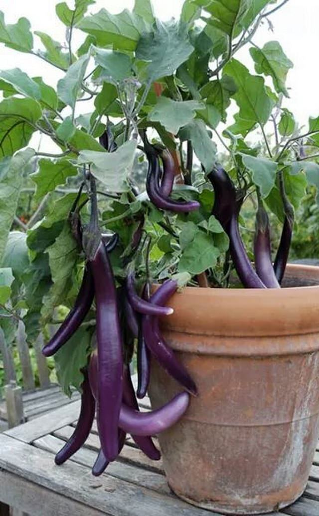 How To Grow Eggplant In Pots 3