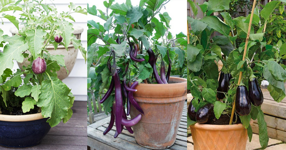 How to Grow an Eggplant in a Pot