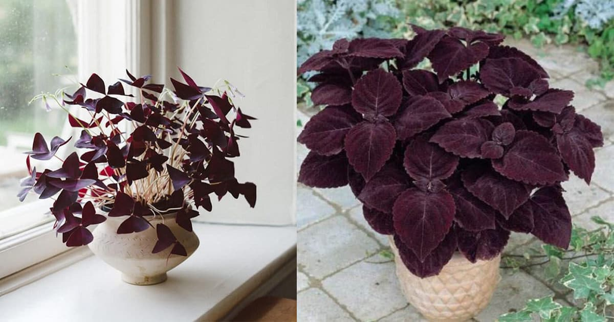 15 GORGEOUS Purple Houseplants | Balcony Garden Web on red foliage flowers, red foliage bushes, red foliage grasses, red foliage annuals, red foliage hibiscus, common indoor houseplants, red foliage plants, red and green houseplants, red foliage perennials, red flowering houseplants, red foliage vines,