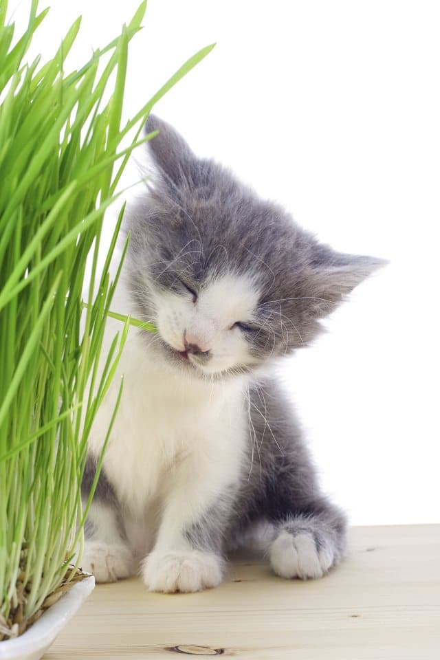 Kitten eating the grass