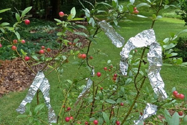 Indigenous Uses of Aluminum Foil in The Garden 3