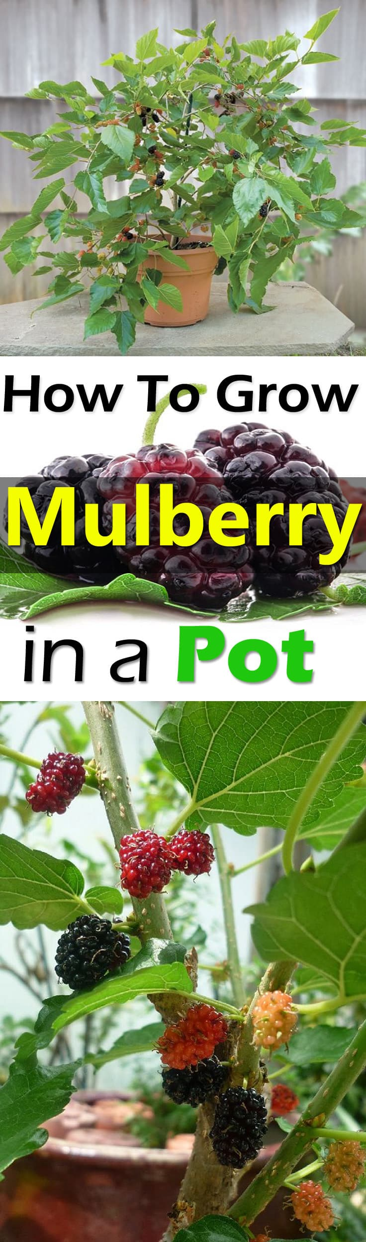 Growing Mulberry In Containers How To Grow Mulberry Tree In A Pot
