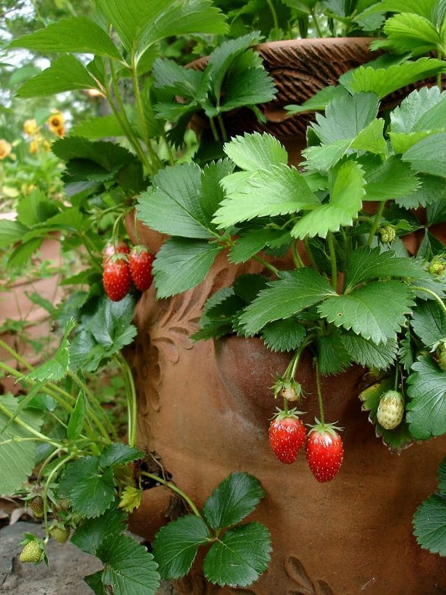 Want to grow so many strawberries in so little space?