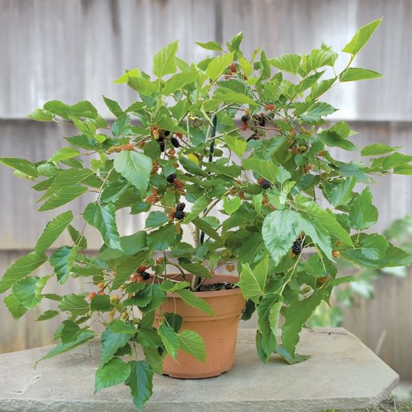 dwarf mulberry tree in a pot