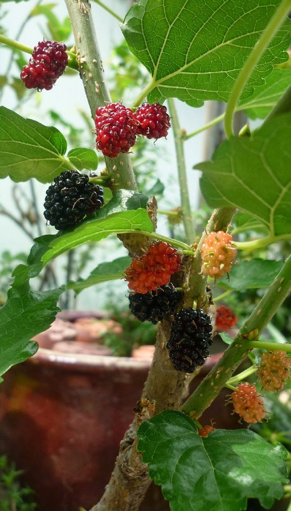 mulberry in pot 2