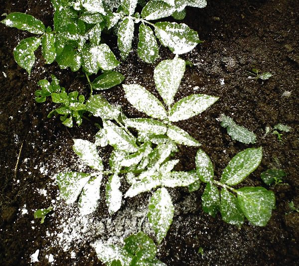 Amazing Uses of Diatomaceous Earth in the Garden 4