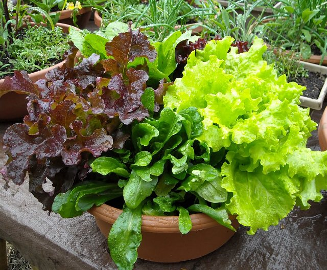 How to Start a Salad Bowl Garden 1 (1)