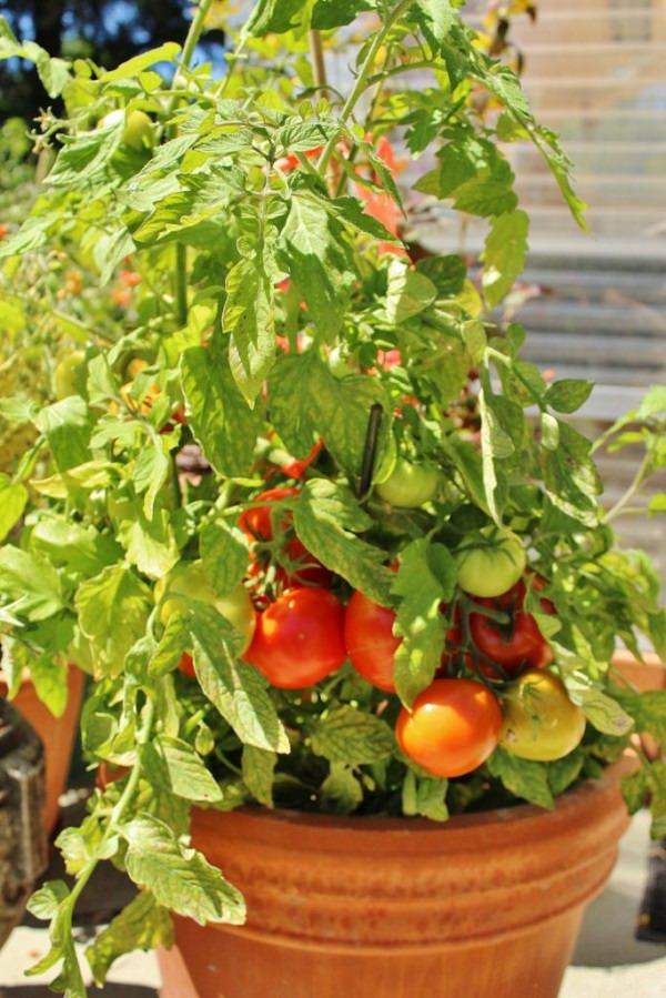 Manitoba tomato in pot