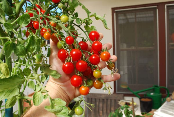 Best Tomato Varieties For Containers | Balcony Garden Web