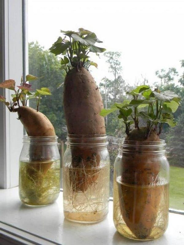 diy hack to grow sweet potato