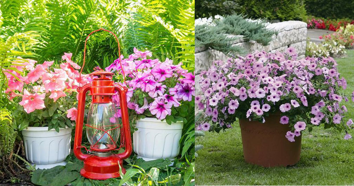 Growing Petunias In Containers Petunia Care Tips Balcony