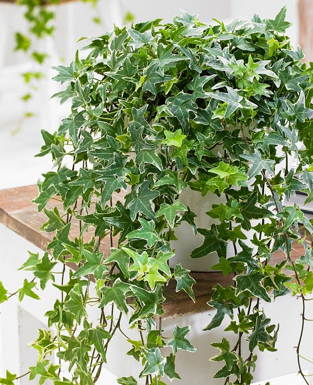 Growing English Ivy Indoors