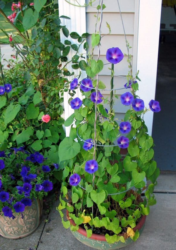 Balcony Garden Web & Best Blue Flowers To Grow In Containers | Balcony Garden Web