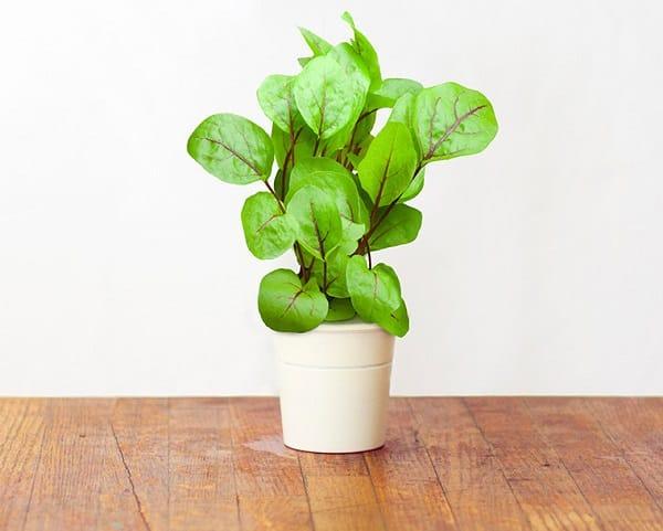 Who can resist fresh and organic, homegrown leafy greens in the salad? Grow them in your apartment without the garden.