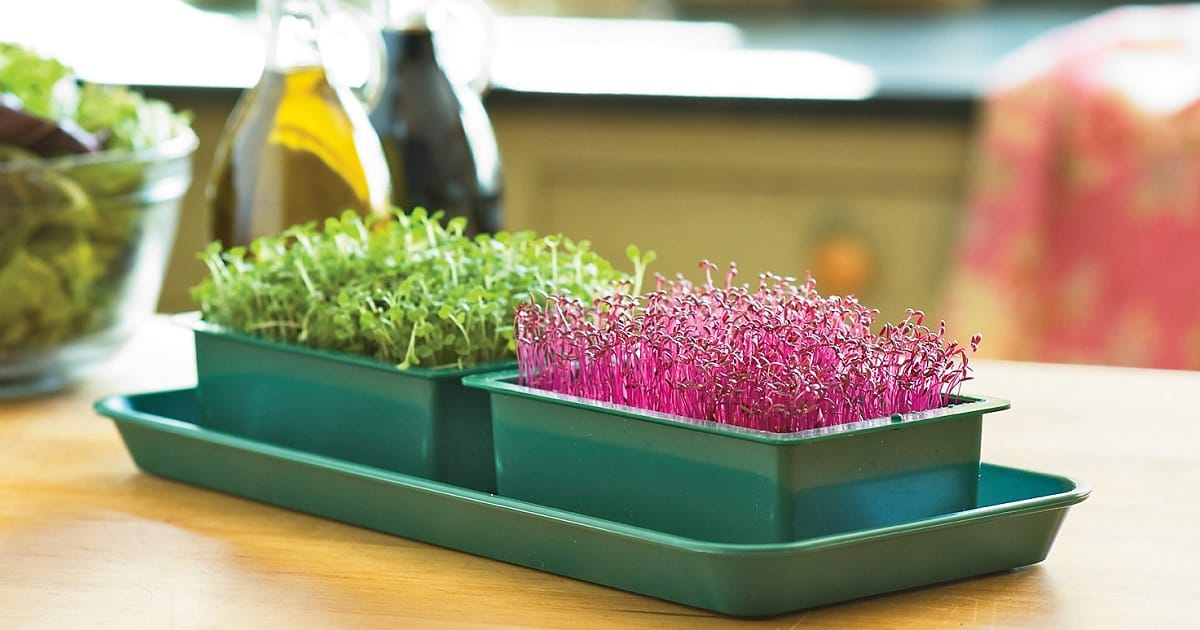 Everything About Growing Microgreens Best