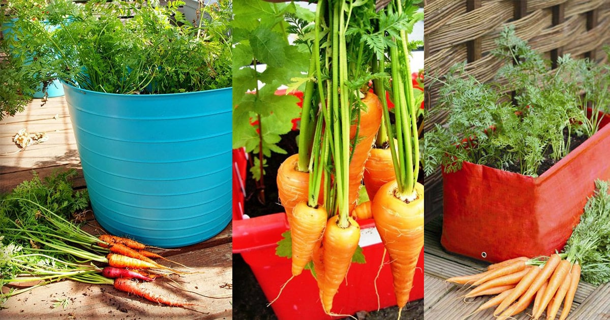 Growing Carrots In Containers How To Grow Pots