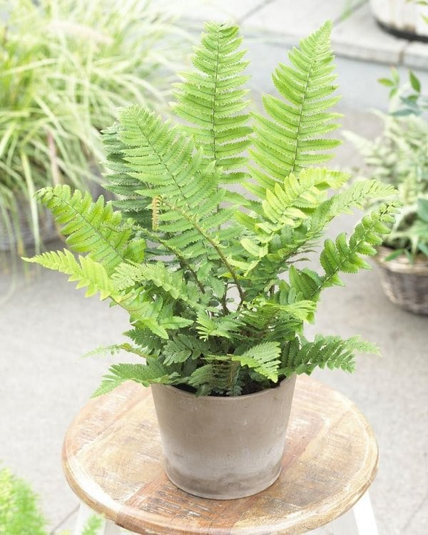 21 Best Ferns For Containers That You Can Grow Indoors Outdoors