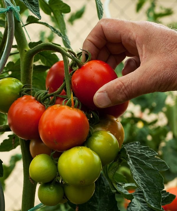 Growing Tomatoes in Pots? Learn these 13 basic Tomato Growing Tips for Containers to grow the best red and juicy, plump tomatoes!