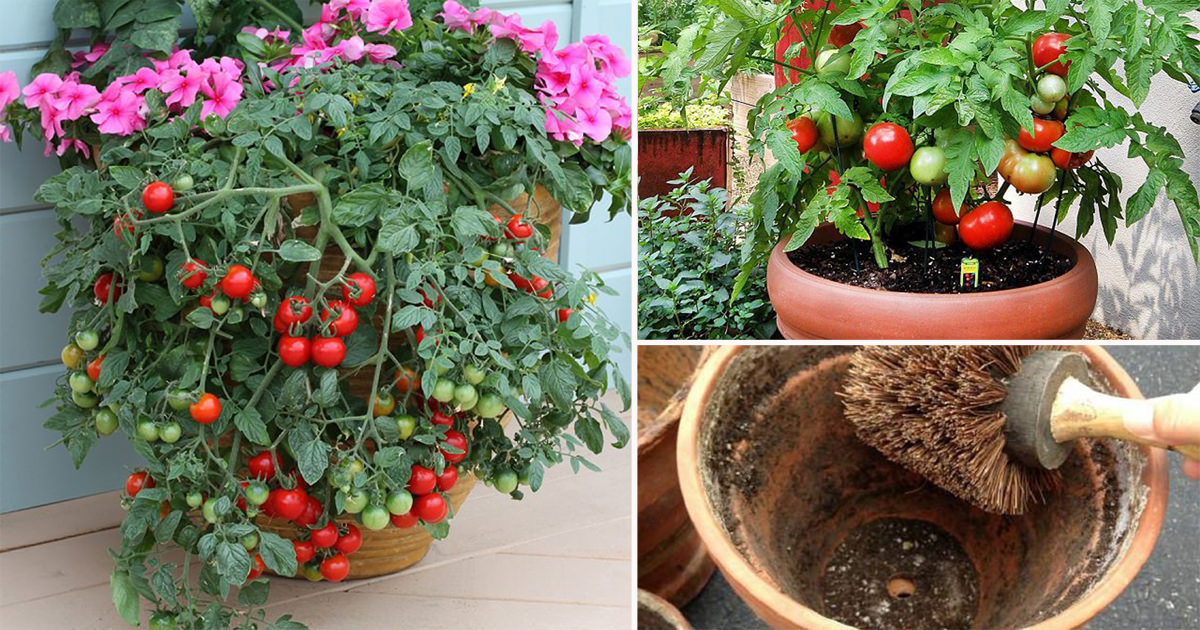 Growing Tomatoes In Pots Note These 13 Basic Tomato Tips For Containers Balcony Garden Web